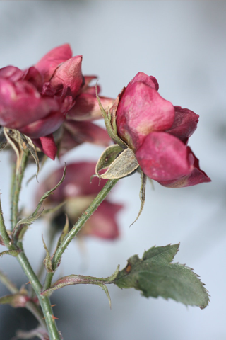 Dead Roses Android Wallpaper HD