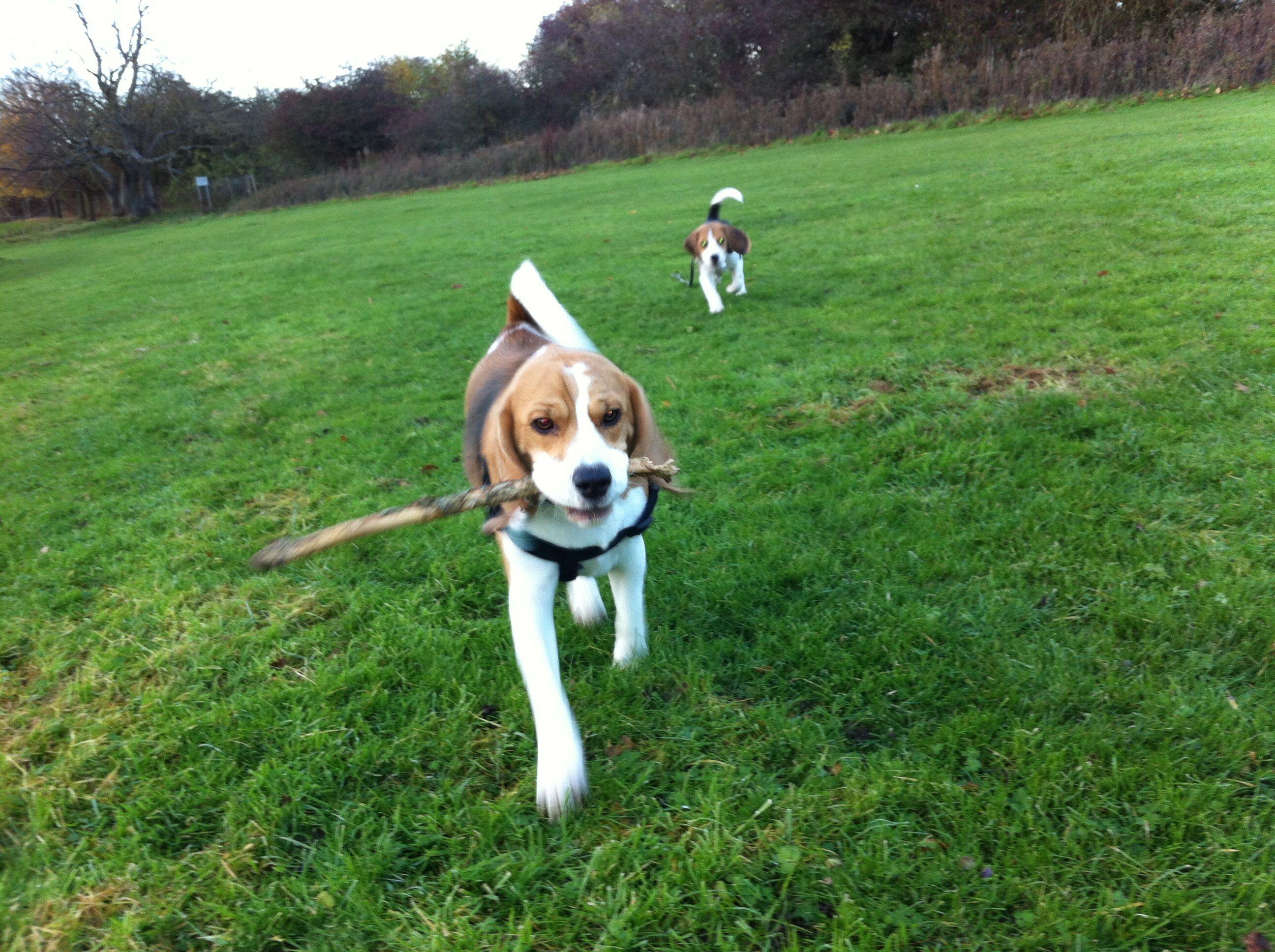 Beckies Beagles On The Field X Beagle Black Labrador Animals