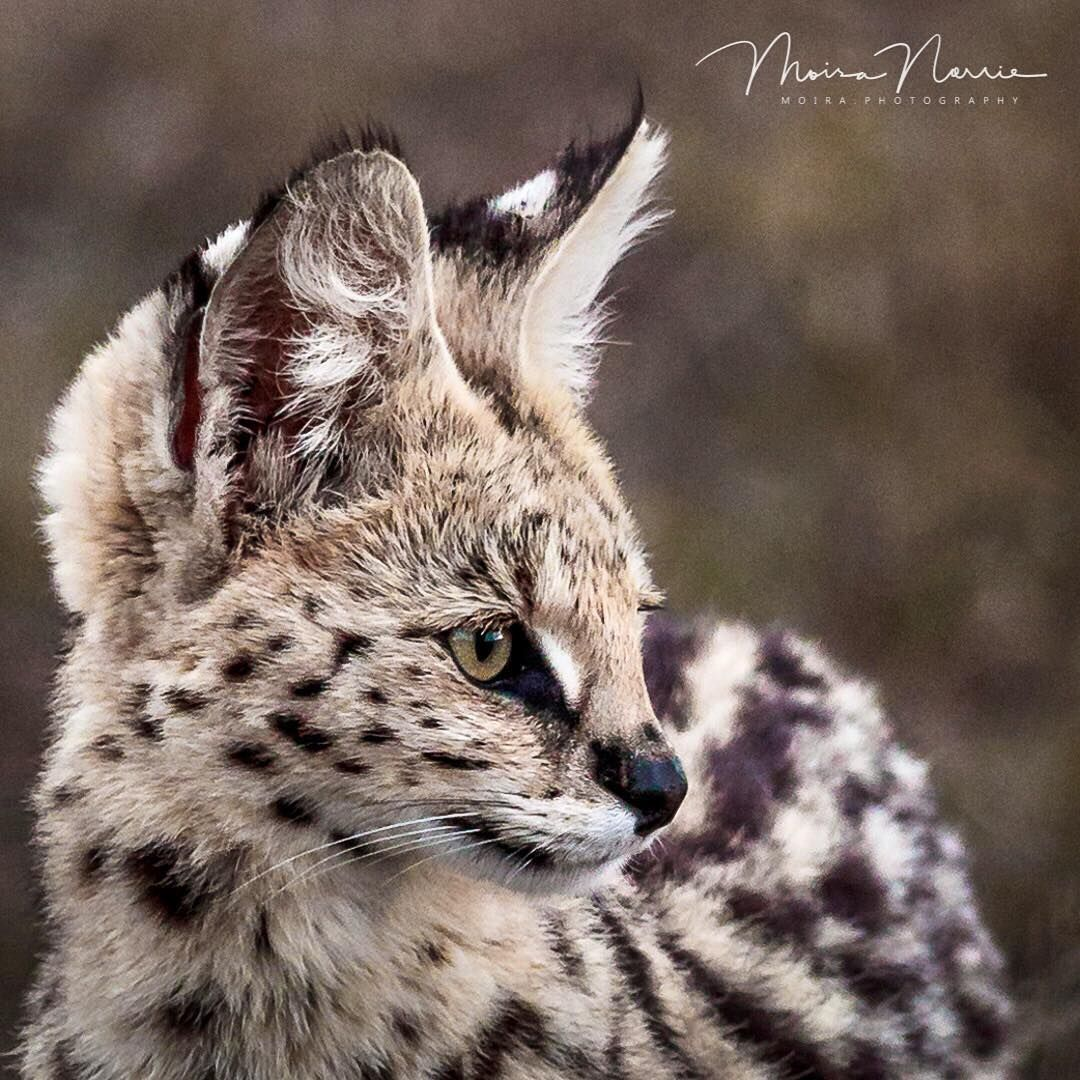 Pin by Jimmy Squat on Serval Wild cats, Wild cat species