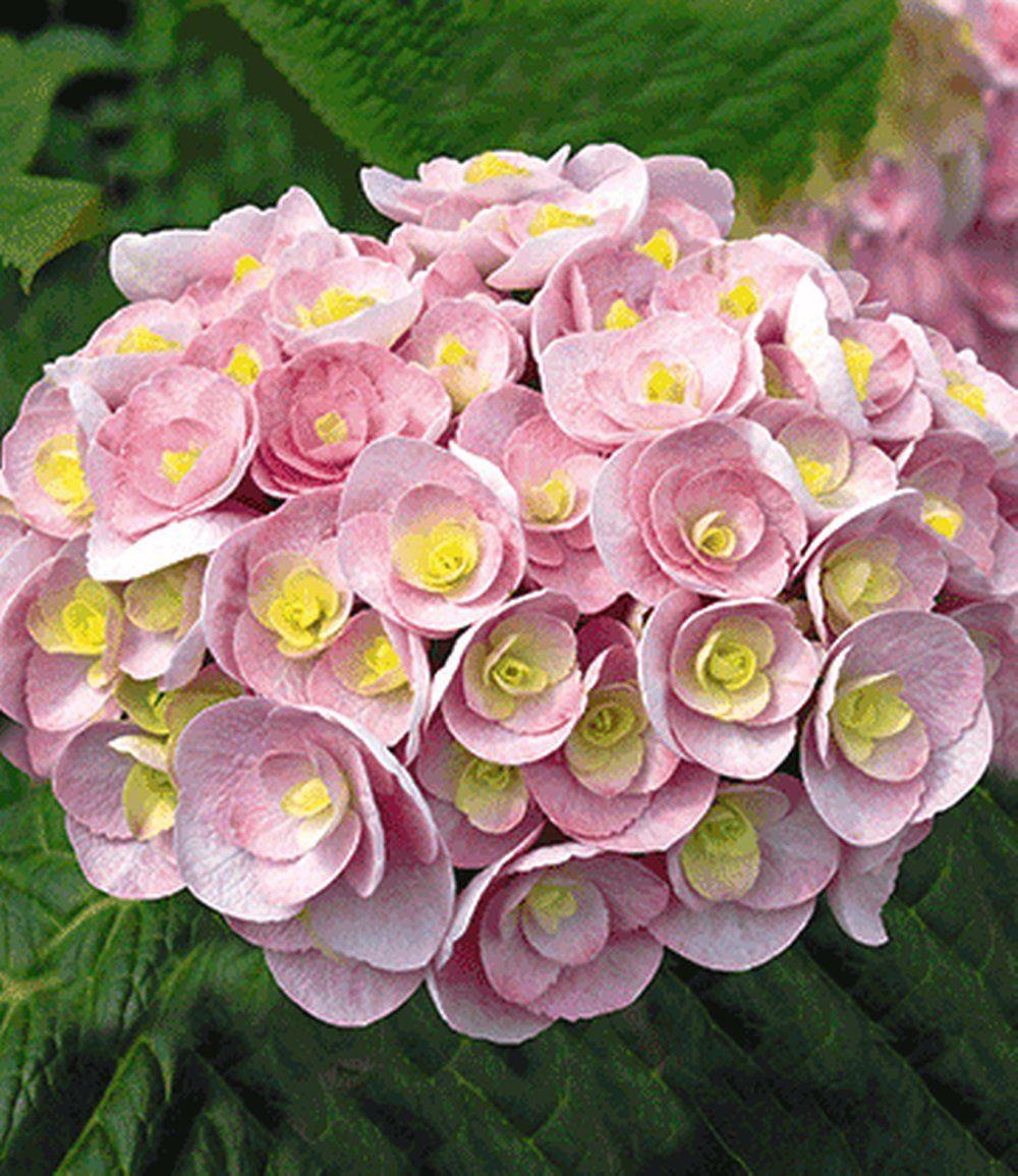 Art Nr PN3076 Hortensie Love Hortensien Garten