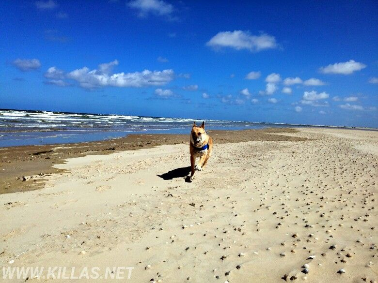 Texel Strand Hund Sandstrand Bluesky Beach Schaferhund Meer Texelmomentje Texelpics Niederlande Holland Nederland Nordholland Touren Niederlande
