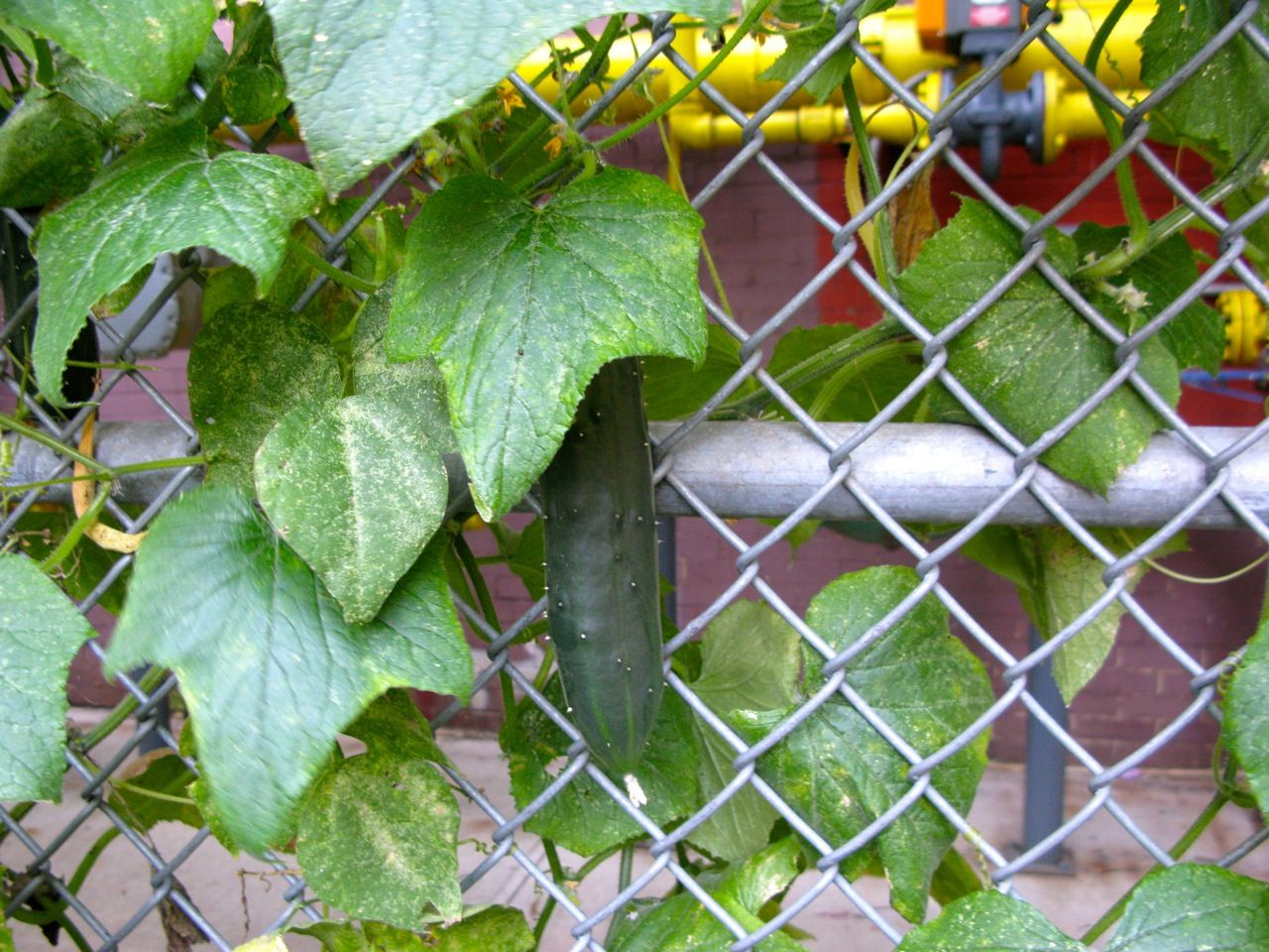 A Chain Link Fence Became A Trellis For Our Cucumber Plants