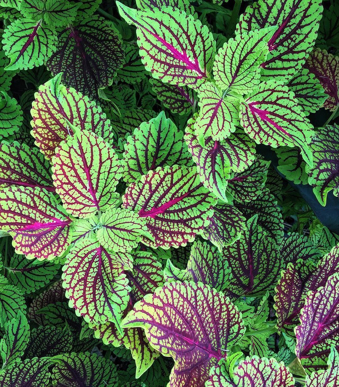 El c leo o cretona coleus blumei es un arbusto donde for Algunas plantas ornamentales