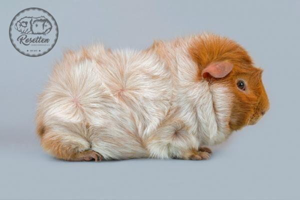 Rosette Schimmel Gold d.A. (mit Bildern) Meerschweinchen