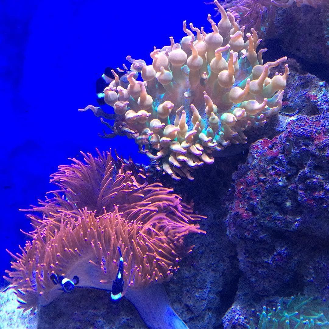 Blue Fish Aquarium On Instagram Rose Bubble Tip Anemone And A Watermelon Bubble Tip Anemone And A Small Group Of Clownf Bubble Tip Anemone Anemone Clown Fish