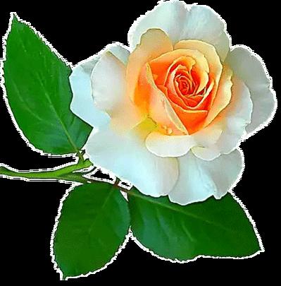 سكرابز ورد منوع وجديد للتصميم Beautiful Flowers Beautiful Flowers Images Amazing Flowers