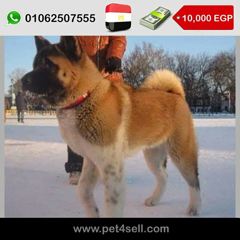 Egypt New Cairo For Sale Adult American Akita Female Imported