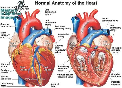 Illustration of the heart structures: left and right atria, left ...