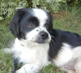 Charlie Is An Adoptable English Cocker Spaniel Dog In Monroe Nc Hi