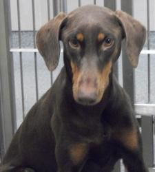 Adopted Girl Is An Adoptable Doberman Pinscher Dog In Lubbock Tx