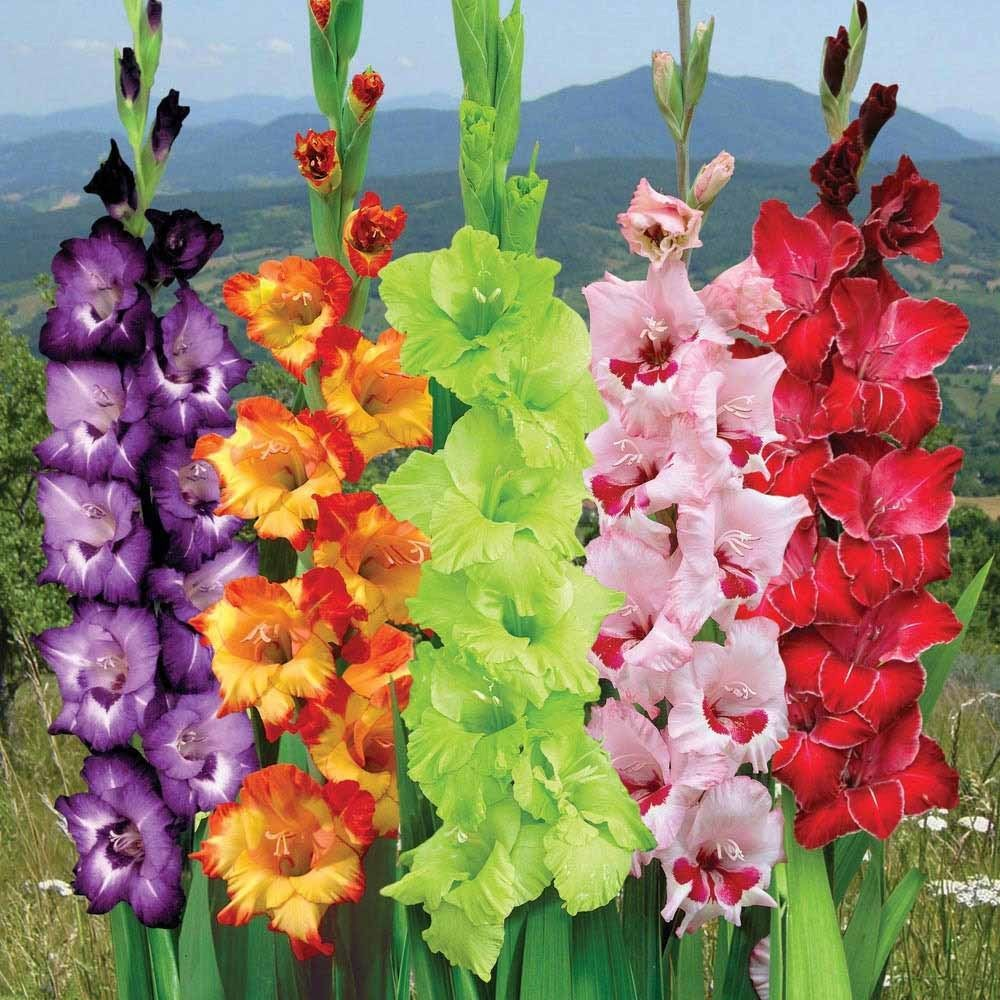 50 Mix Jumbo Gladiolus Bulbs Perennial Flowers Summer Blooming Deer Resistant Gladiolus Flower Bulb Flowers Lily Seeds