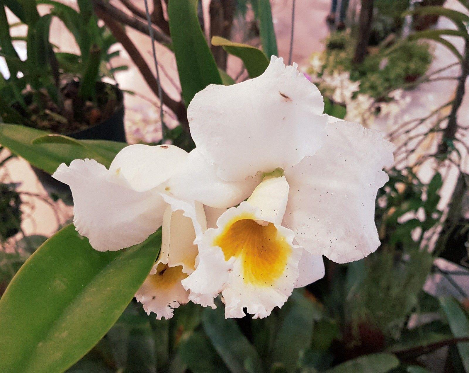 white Cattleya flower with yellow lip.Elegant white Cattleya flower with yellow lip.