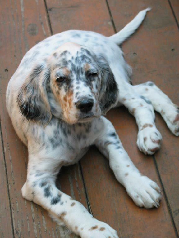 Setters West English Setter Photos From Buyers English Setter Puppies English Setter Dogs English Setter