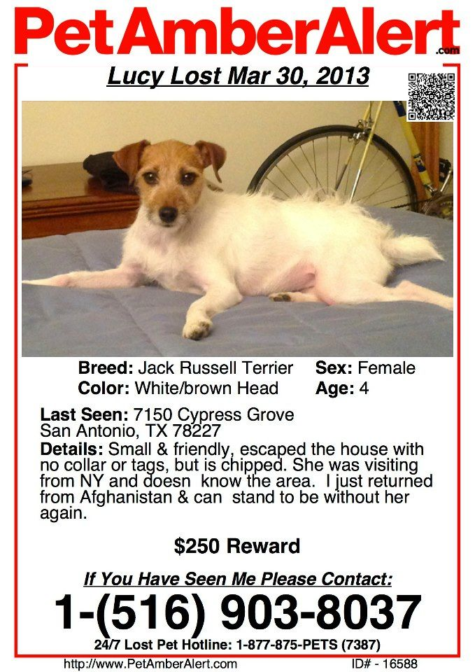 A White With Brown Head Jack Russell Terrier Dog Lost In San