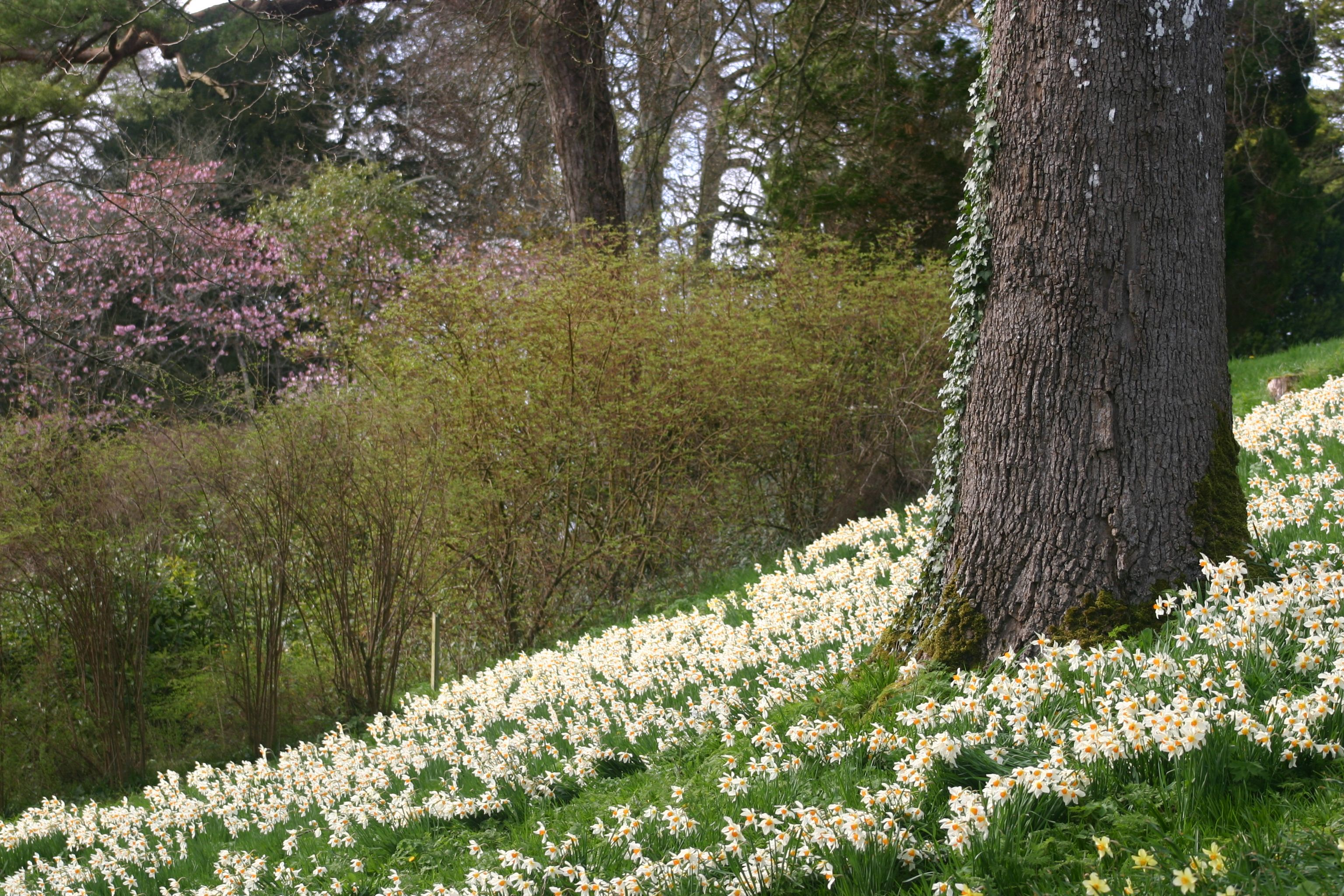 A spring photo - daffodils Photo: Greg Smith | Gardens in Ireland ...