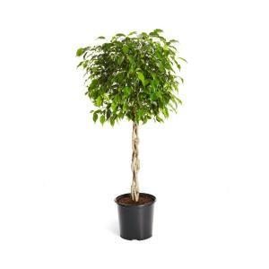 Brighter Blooms Benjamina Ficus Tree (Ficus Benjamina) in 3 Gal. Pot-FIC-BEN-34_3-BRD – The Home Depot