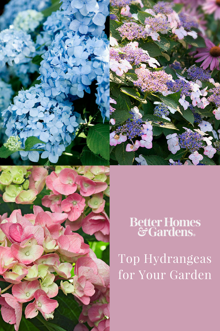 We Have The Top Hydrangea Picks Whether You Re Looking For Flowers That Fare Well In Sun Or Shade On Planting Hydrangeas Types Of Hydrangeas Flower Landscape