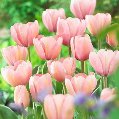 Tulip Sweet Impression - Parkers Wholesale