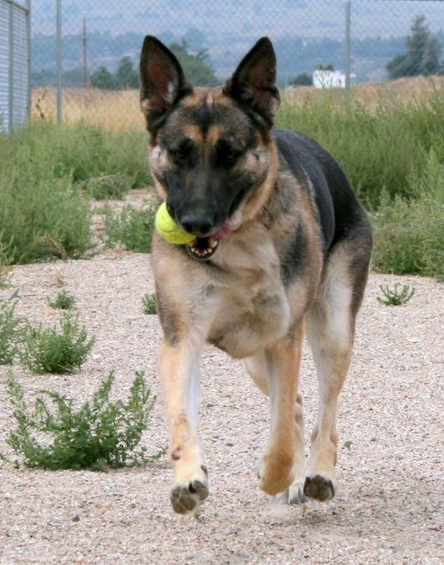 Adopt Lola On Dogs German Shepherd Dogs Shepherd Dog