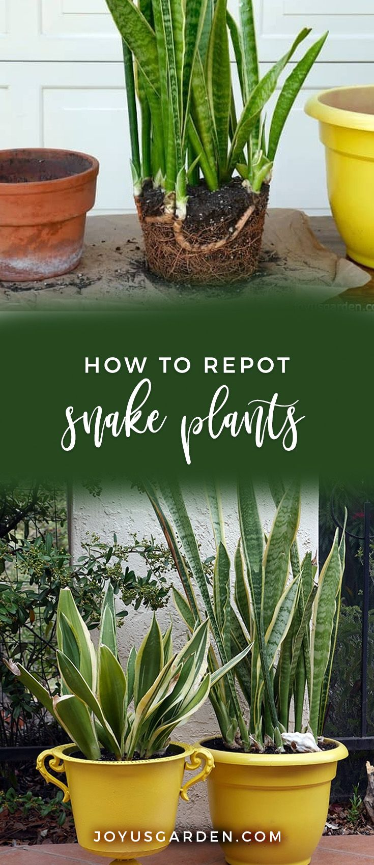 Repotting Snake Plants The Mix To Use & How To Do It is part of Plants, Repotting plants, Snake plant, Inside plants, Mother in law tongue, Snake plant care - Snake Plants are diehard houseplants  Here's the repotting of 2 Snake Plants  See the steps, the mix to use & find out when to do it  A video guides you