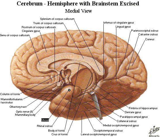 Image result for corpus callosum genu and splenium images | Anatomy ...
