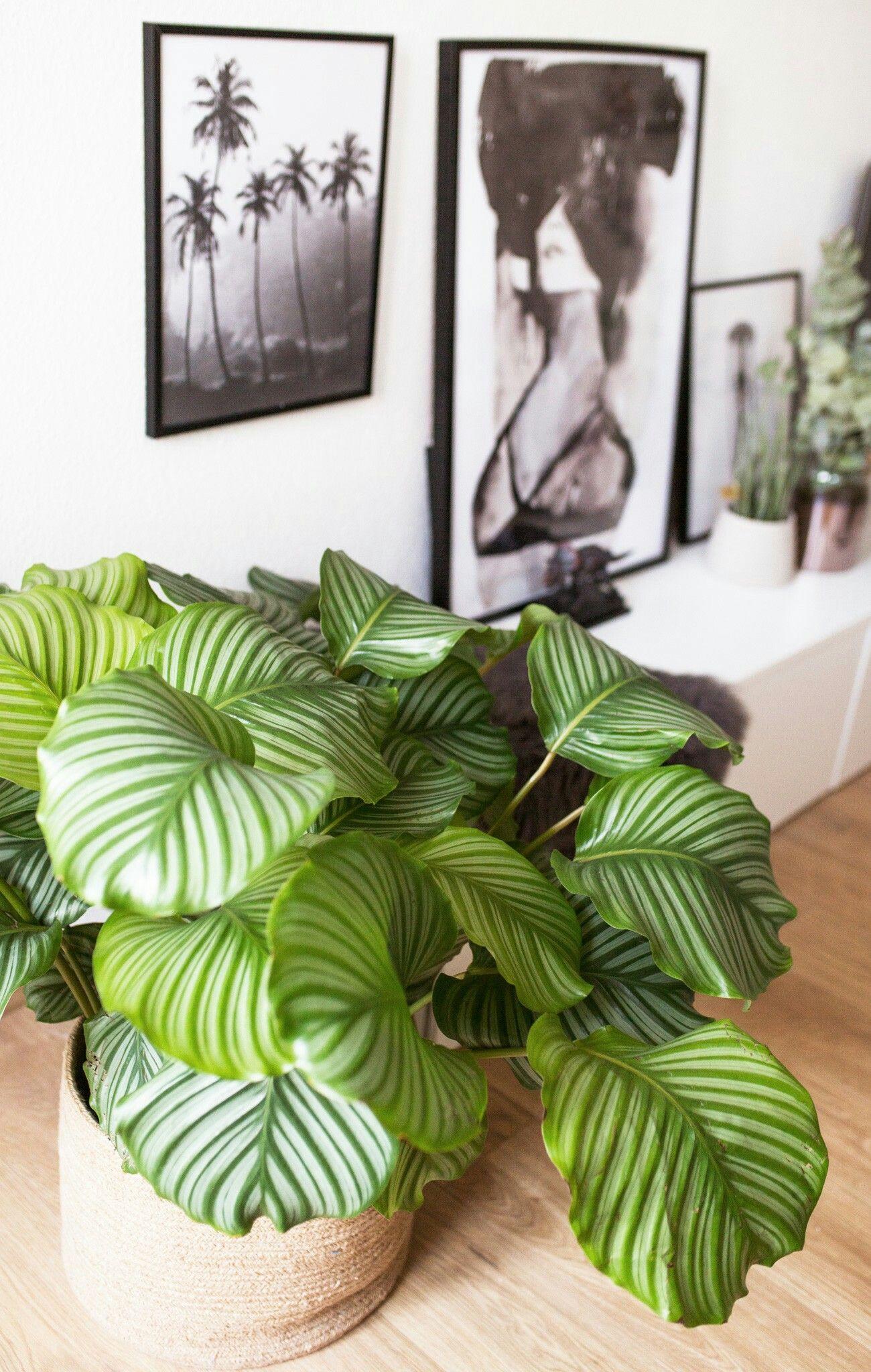 Calathea orbifolia korbmarante pflanzen plants ideas for Zimmerpflanzen wohnzimmer
