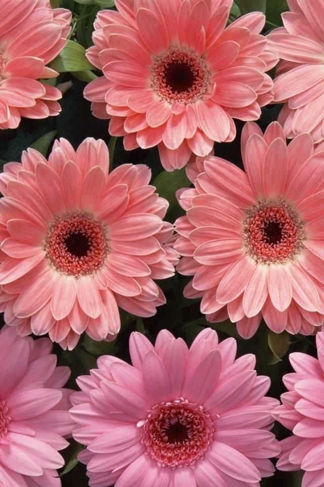 Pink Daisies Pink Flowers Wallpaper Gladiolus Flower Pictures