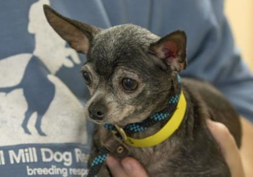 Pictures Of Tess A Chihuahua For Adoption In Colorado Springs Co Who Needs A Loving Home Kitten Adoption Pets Dog Cat