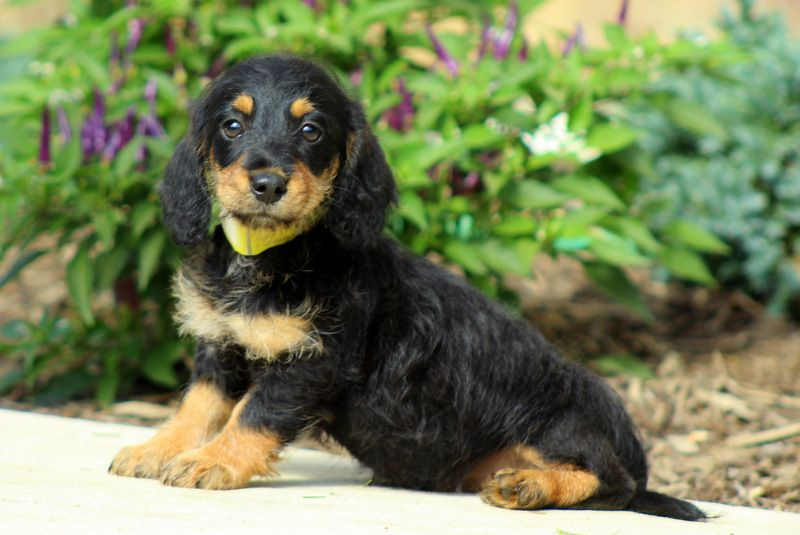 Presley Dachshund Mix Puppy For Sale in Pennsylvania