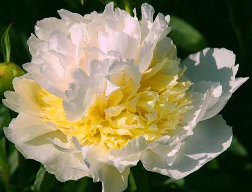 Top Brass Peony Flower Farm Peonies Peonies Garden
