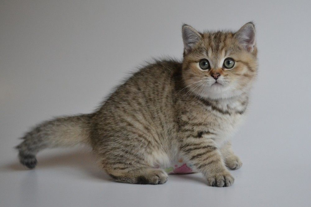 We Are Eleven Weeks Old British Shorthair Cats British