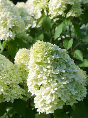 Bobo Hydrangea Shrubs Hydrangea Paniculata Hydrangea Paniculata Limelight Hydrangea Shrub