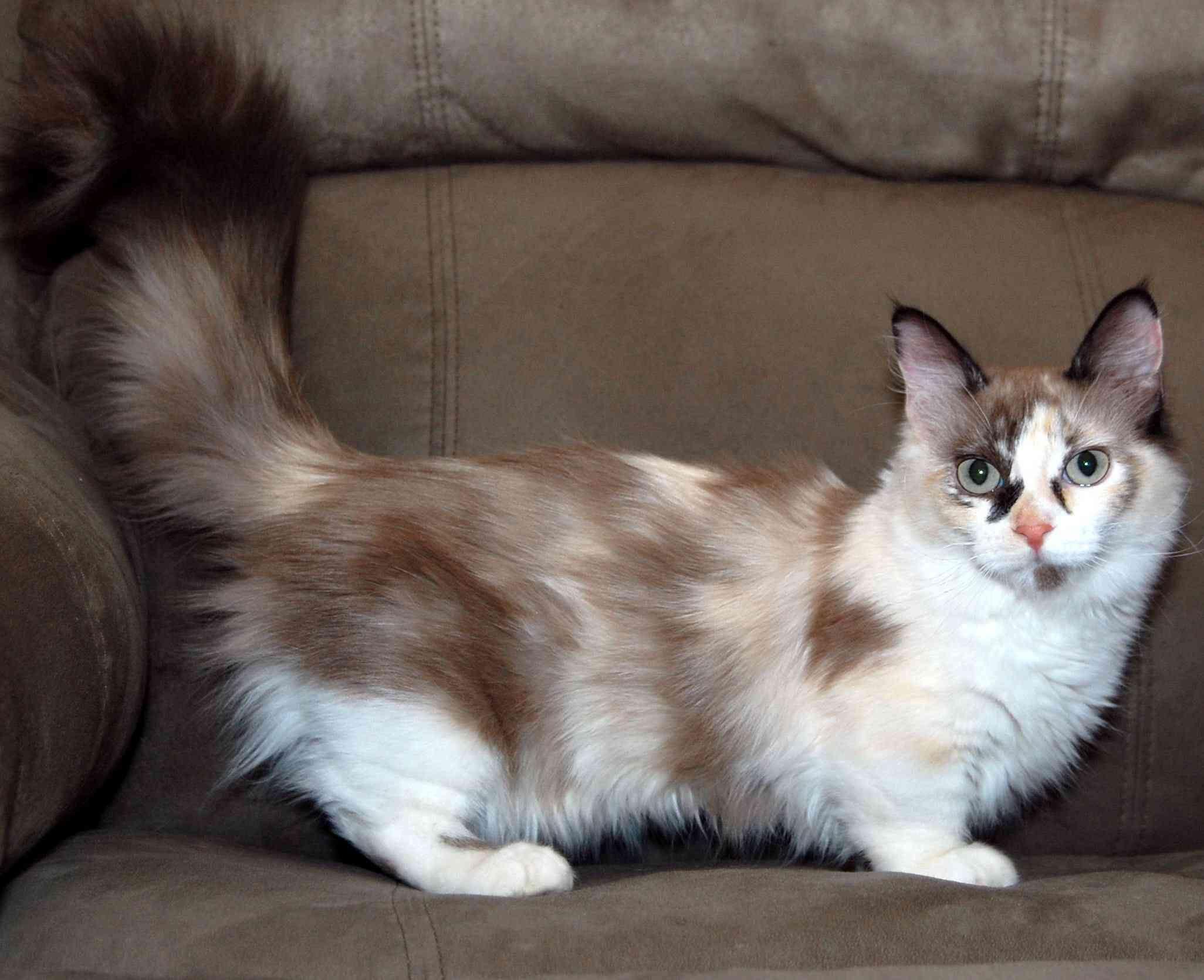 Munchkin Cat Jpg 2052 1671 Munchkin Cat Munchkin Kitten Cat