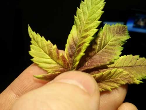 Phosphorus deficient cannabis leaves may turn red or purple first phosphorus deficient cannabis leaves may turn red or purple first then the rest of the leaf usually turns yellow mightylinksfo