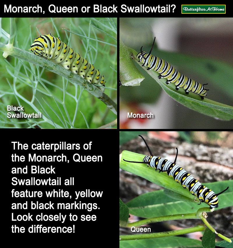 Comparison between the Monarch, Queen and Black