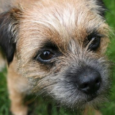 Buster From Glasgow Scotland He Looks Like A Border Terrier