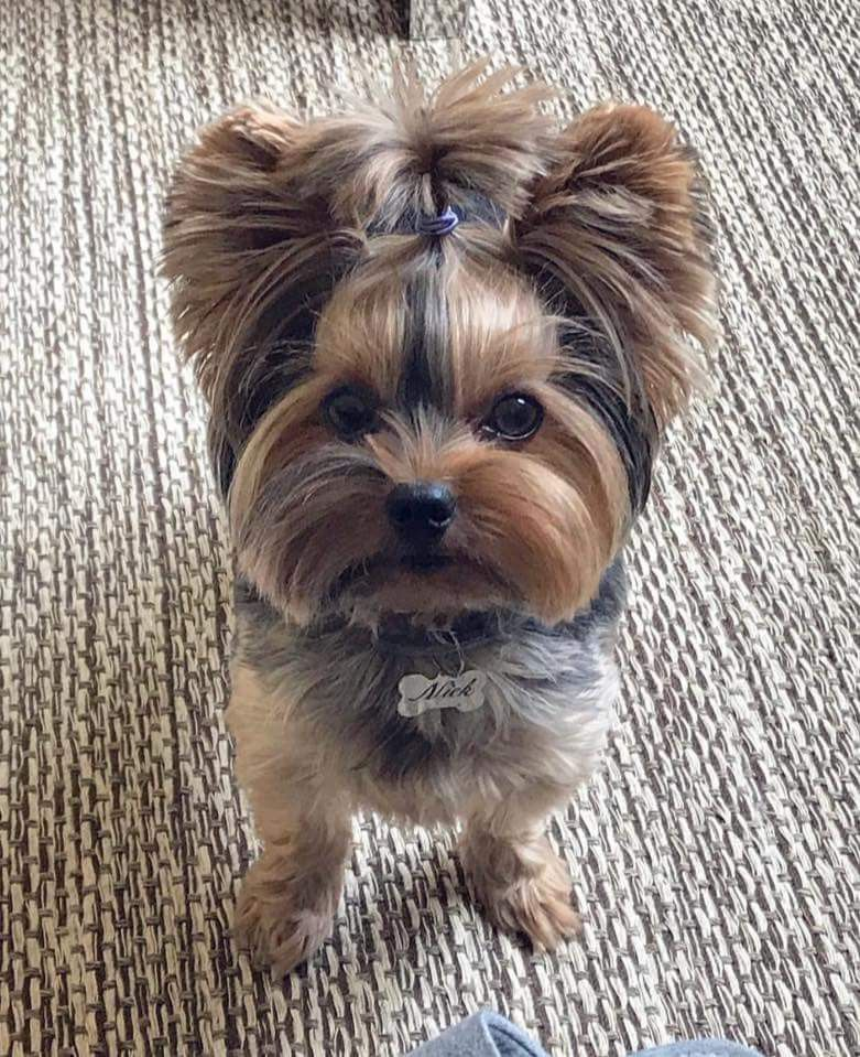 I Know I M Cuter Than Everyone S Kids Yorkie Terrier Yorkie Puppy Yorkshire Terrier Puppies