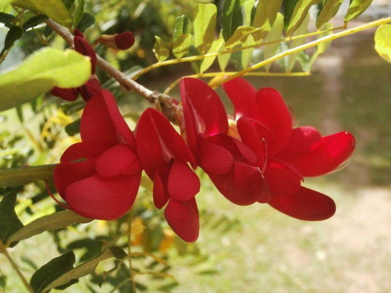 Dominica's national flower, the Bwa Kwaib Botanical