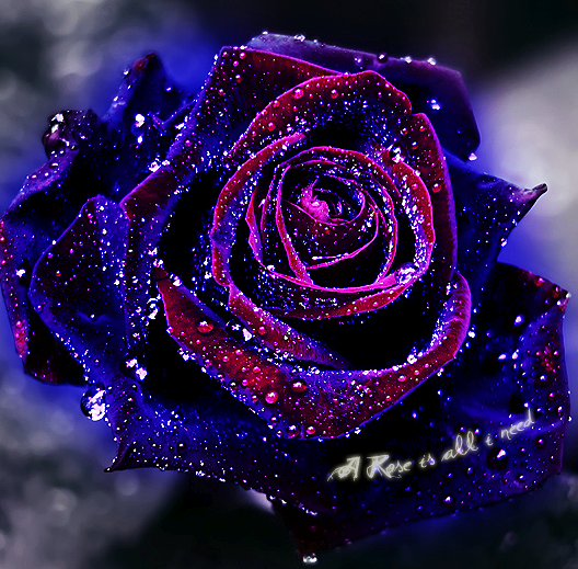 Cute Rose Blue Rose Tattoos Blue Roses Wallpaper Beautiful Roses