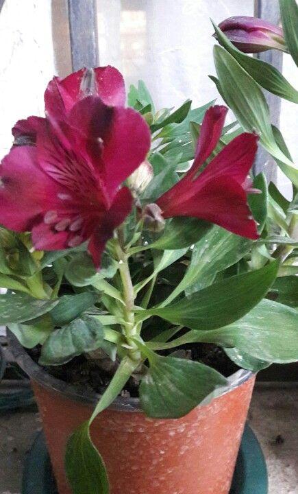 alstroemeria, lirio de los incas, azucena peruana -- alstroemeria