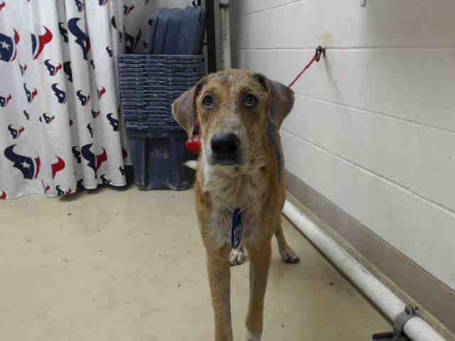 This Dog Id A465414 Urgent Harris County Animal Shelter In