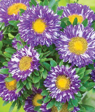 Purple Burst Aster Seeds And Plants Annual Flower Garden At Burpee Com Annual Flowers Fall Flowers Garden Aster Flower