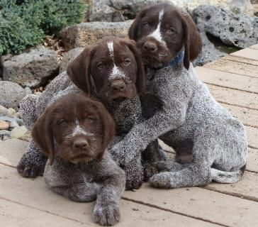 German Wirehaired Pointers Puppy And Started Dog Animals