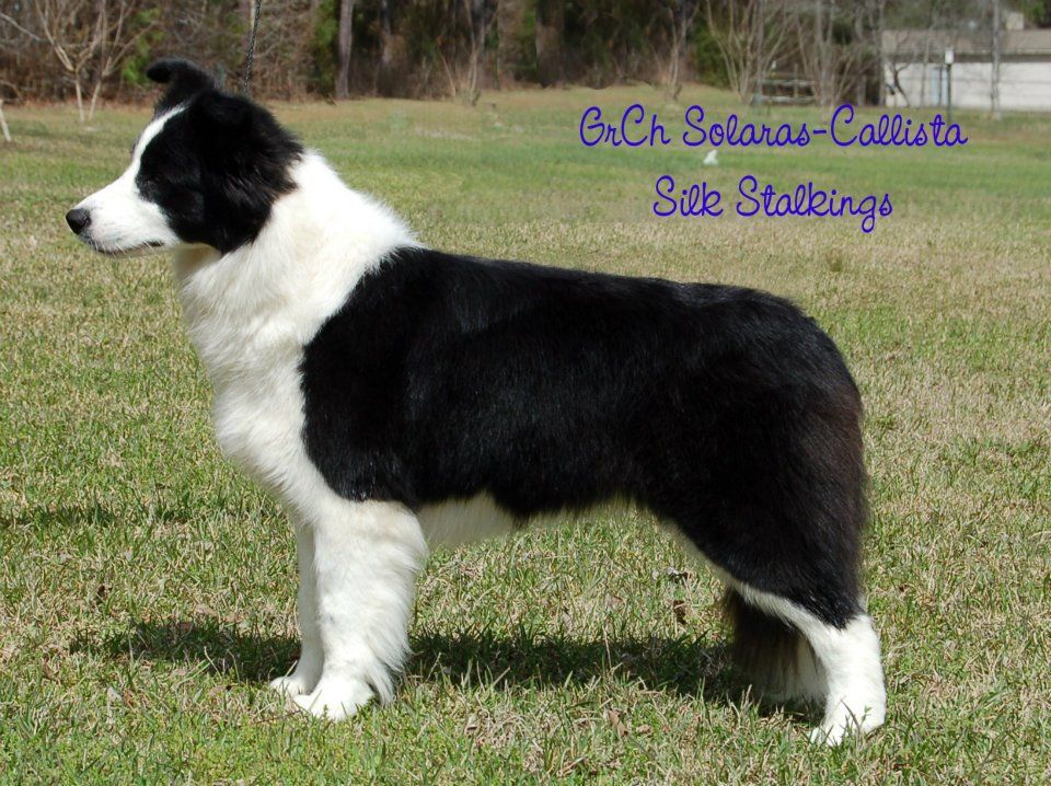Selecting and Training a Border Collie Puppy Border