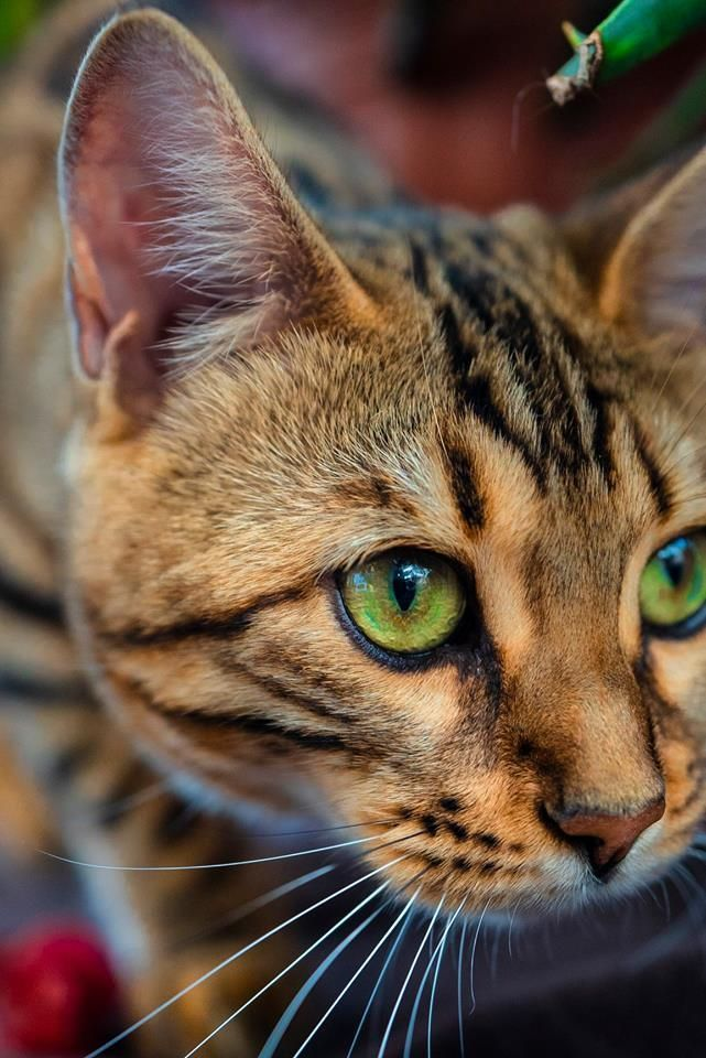 New Photographs Bengal Cats sleeping Ideas Primary, let's