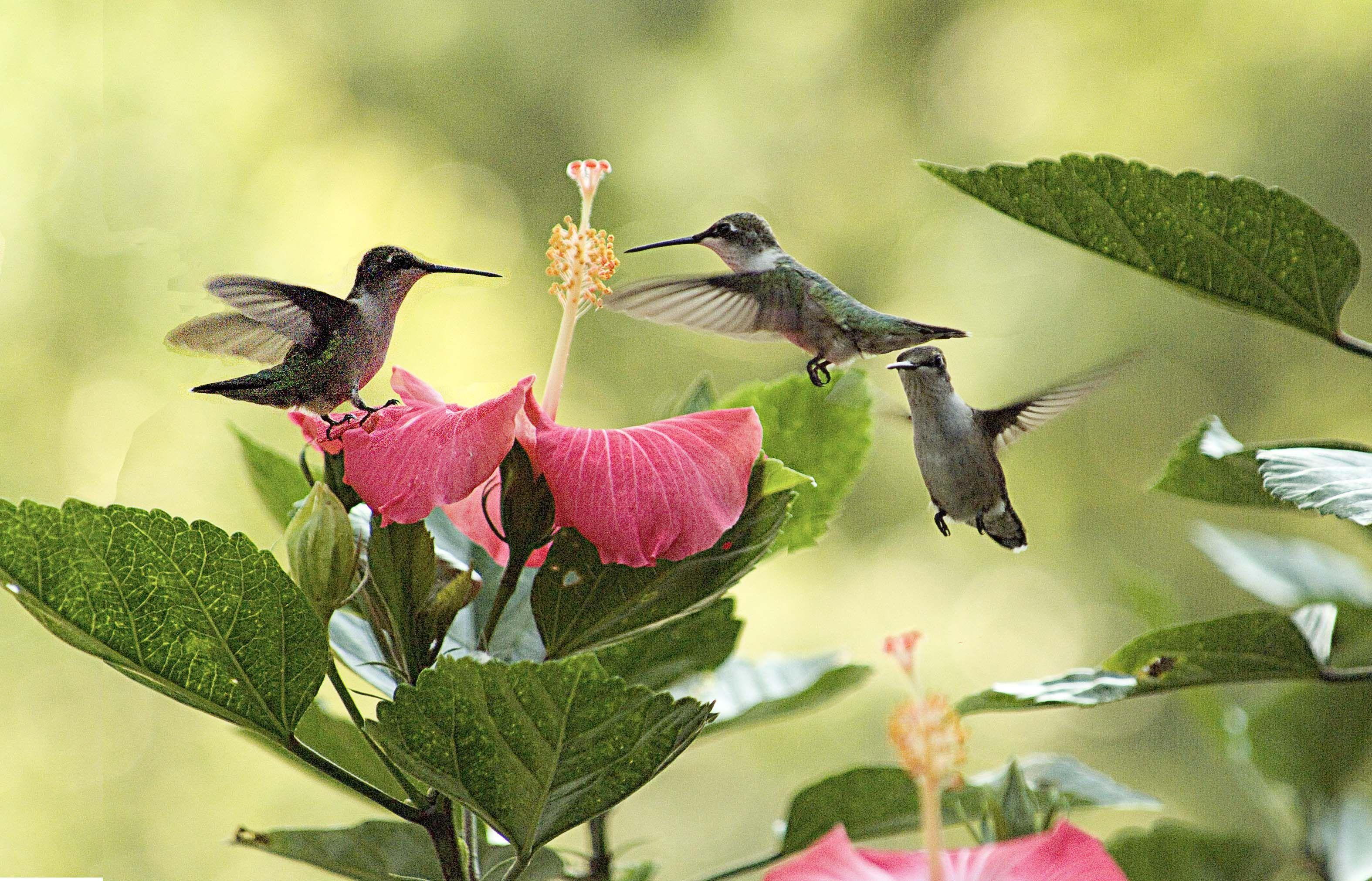 Ruby Throated Hummingbird Clip Art Share Flores Pinterest