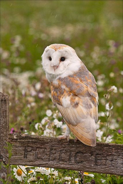 Barn Owl by Phil Selby, via Flickr