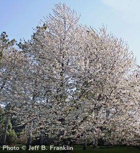 Black Tartarian Cherry Cherry Tree Potted Trees Fruit Trees