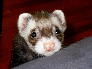 Ferret 3 Ferret Pet Store Fur Kids