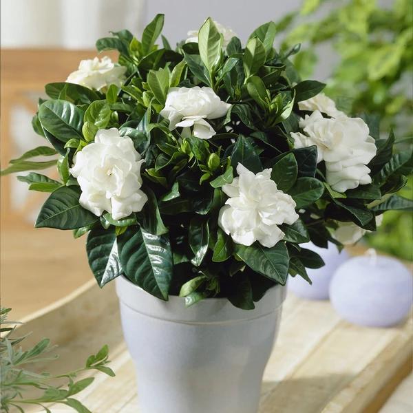 Buttons Gardenia Shrub With Images Gardenia Plant Indoor